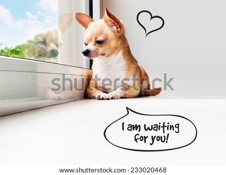 Cute chihuahua looking out the window. Speech bubble with heart. Small dog waiting for you. - stock photo