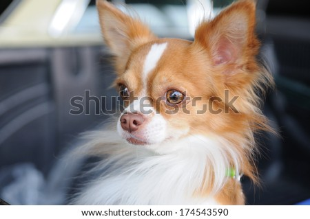 Cute chihuahua portrait, looking something. - stock photo