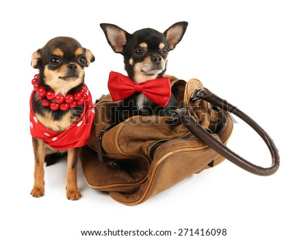 Cute chihuahua puppy in brown bag isolated on white - stock photo