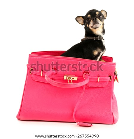 Cute chihuahua puppy in female bag isolated on white - stock photo