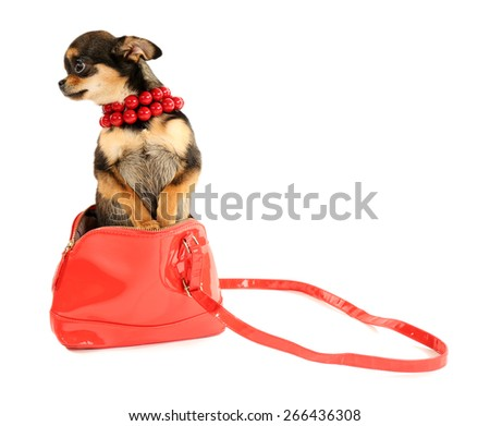 Cute chihuahua puppy in red beads and in female bag isolated on white - stock photo