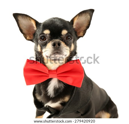 Cute chihuahua puppy in red bow tie isolated on white - stock photo