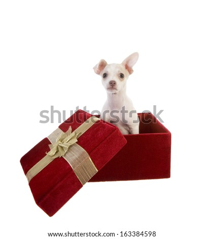 Cute Chihuahua Puppy in red velvet gift box for Valentines,Christmas or birthday present isolated on white background - stock photo