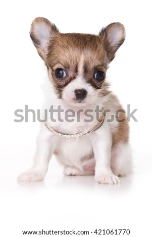 Cute chihuahua puppy (isolated on white) - stock photo