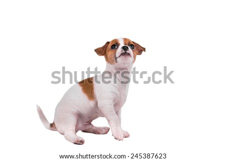cute chihuahua puppy looking up in front of a white background