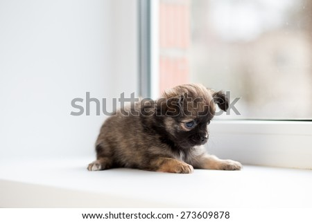 Cute chihuahua puppy lying on the windowsill.  - stock photo