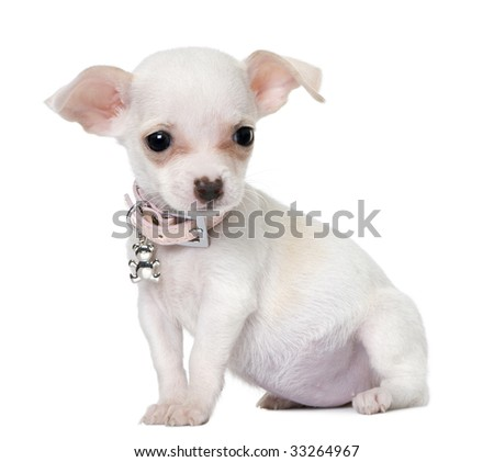 cute chihuahua puppy (3 month old) in front of a white background - stock photo