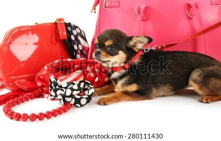 Cute chihuahua puppy near female bags, closeup - stock photo
