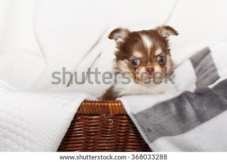 Cute chihuahua puppy sitting in a basket  with white background