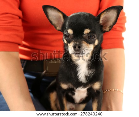 Cute chihuahua puppy sitting on female hands isolated on white - stock photo