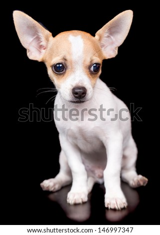 Cute chihuahua puppy with big erect ears standing on a black background