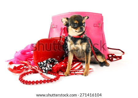 Cute chihuahua puppy with female bags isolated on white - stock photo