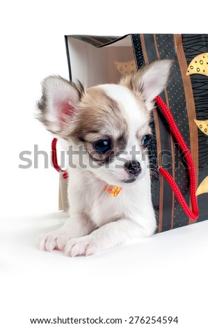 cute chihuahua puppy with gift bag on white background  - stock photo