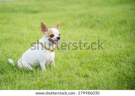 Cute chihuahua sitting and looking on green grass - stock photo