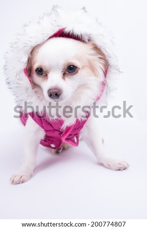 Cute chihuahua sitting dressed in a pink winter jacket