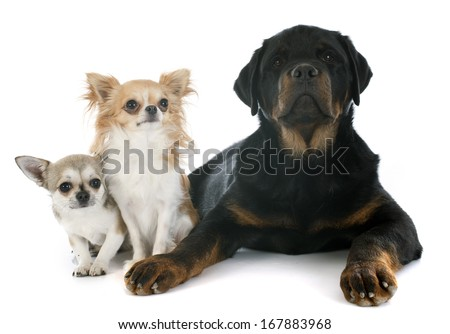 cute chihuahuas and rottweiler in front of white background