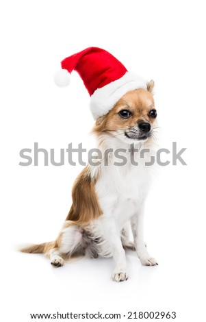 Cute Chihuahuas on white background. Christmas concept.