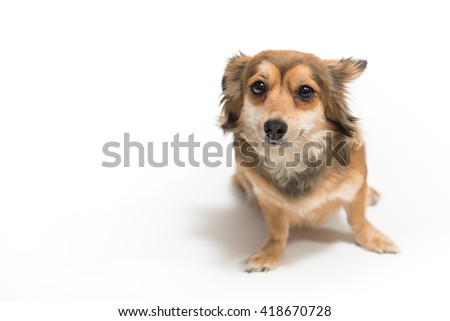 Cute chihuaua dog on white background