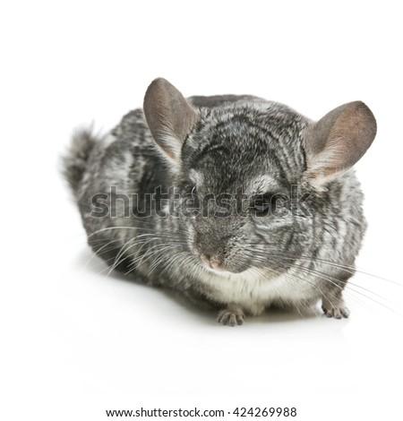 Cute chinchilla isolated over white background - stock photo