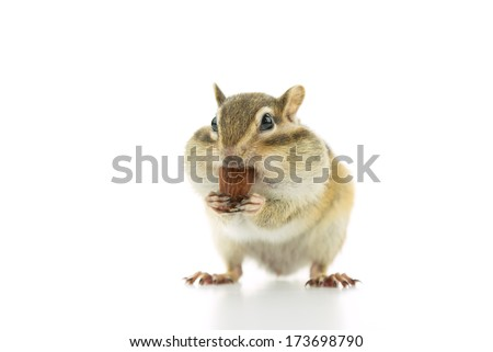Cute Chipmunk eating almond, isolated on white background - stock photo
