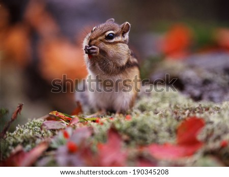 Cute chipmunk eating red berry - stock photo