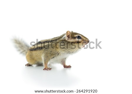 cute chipmunk isolated on white background. - stock photo