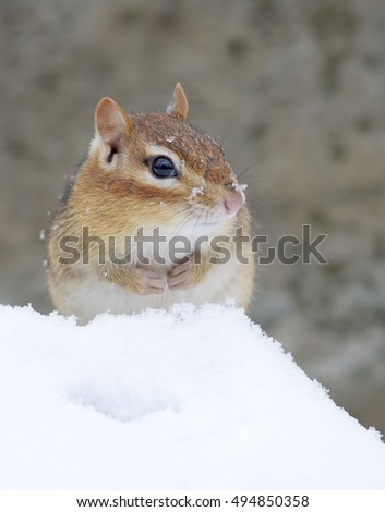 Cute chipmunk sitting in the snow