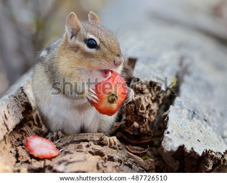 Cute chipmunk snacking on a strawberry