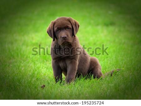 Cute chocolate labrador retriver puppy - stock photo
