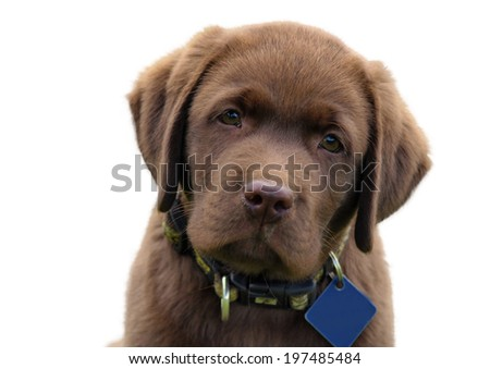 Cute chocolate labrador retriver puppy - stock photo