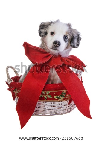 Cute Christmas Australian Shepherd puppy with big red bow around neck in Christmas basket isolated on white background - stock photo