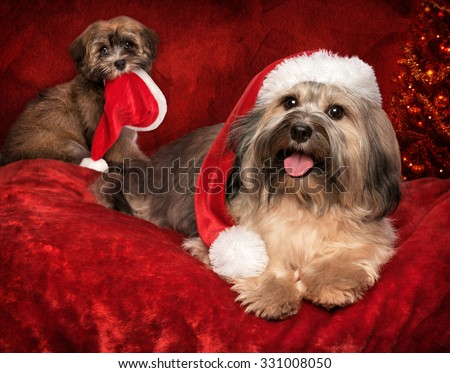 Cute Christmas Bichon Havanese dog and a puppy with Santa hats - greeting card design with some text space - stock photo