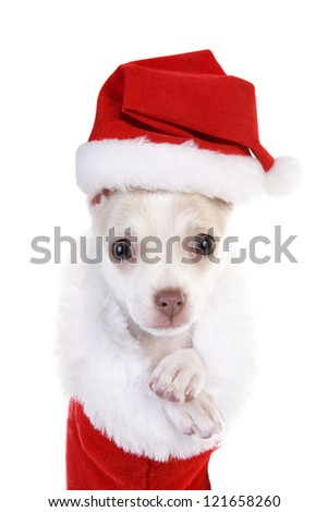 Cute Christmas Chihuahua Puppy in red and white christmas stocking wearing hat isolated on white background - stock photo