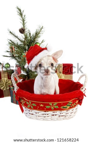 Cute Christmas Chihuahua Puppy under Christmas tree inside basket wearing hat  with gifts isolated on white background - stock photo