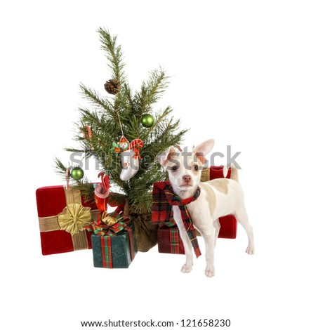 Cute Christmas Chihuahua Puppy wearing holiday scarf under Christmas tree with gifts isolated on white background - stock photo
