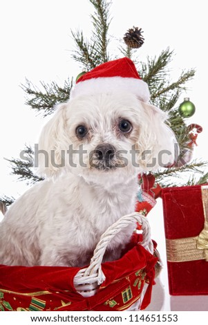 Cute Christmas Maltese dog in basket under christmas tree,wearing santa hat  isolated on white background