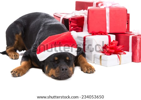 Cute Christmas rottweiler is sleeping with presents, isolated on white. - stock photo