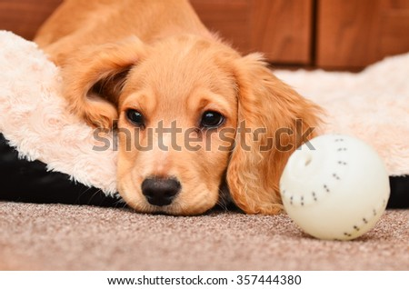 Cute Cocker spaniel pup resting after playing with her ball