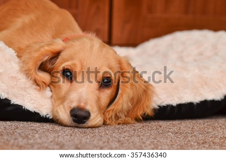 Cute Cocker spaniel pup taking a rest in her bed.