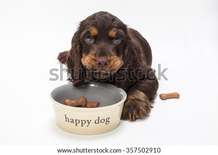 Cute Cocker Spaniel puppy dog looking up from eating boned shaped biscuits in Happy Dog bowl - stock photo