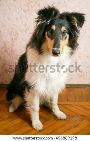 Cute collie dog sitting on the floor