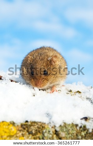 Cute common vole in the snow