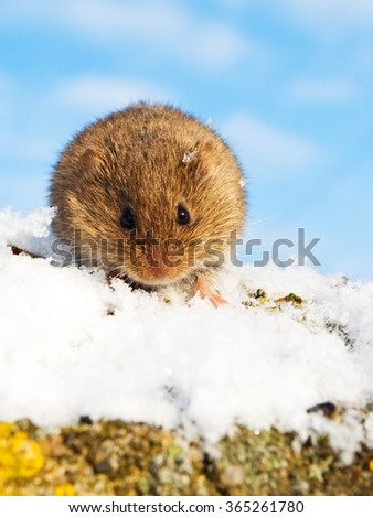 Cute common vole in the snow - stock photo