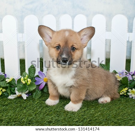 Cute Corgi puppy sitting in front of a white picket fence with flowers. - stock photo