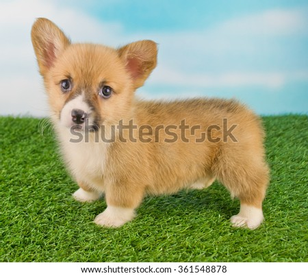 Cute Corgi puppy standing on grass outside with a blue sky behind him.