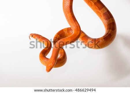 Cute corn snake female and male with protruding tongue on neutral background, hypo fire and hypo bloodred morph