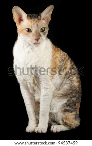 Cute Cornish Rex Cat Showing Its Tongue on Black Background - stock photo