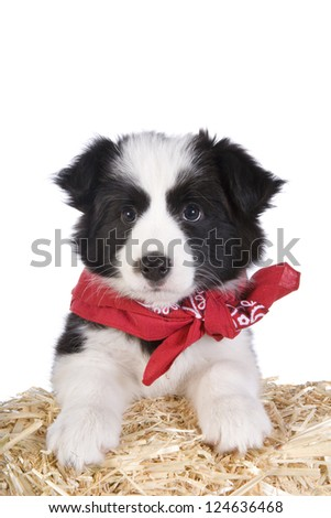 Cute country Border collie puppy wearing red bandana on straw bale isolated on white background - stock photo