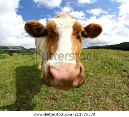 cute cow photographed with fisheye lens from very close - stock photo