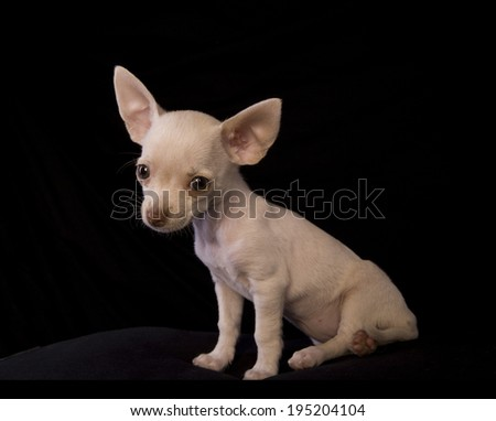 Cute cream color shorthaired Chihuahua puppy sitting on black background - stock photo